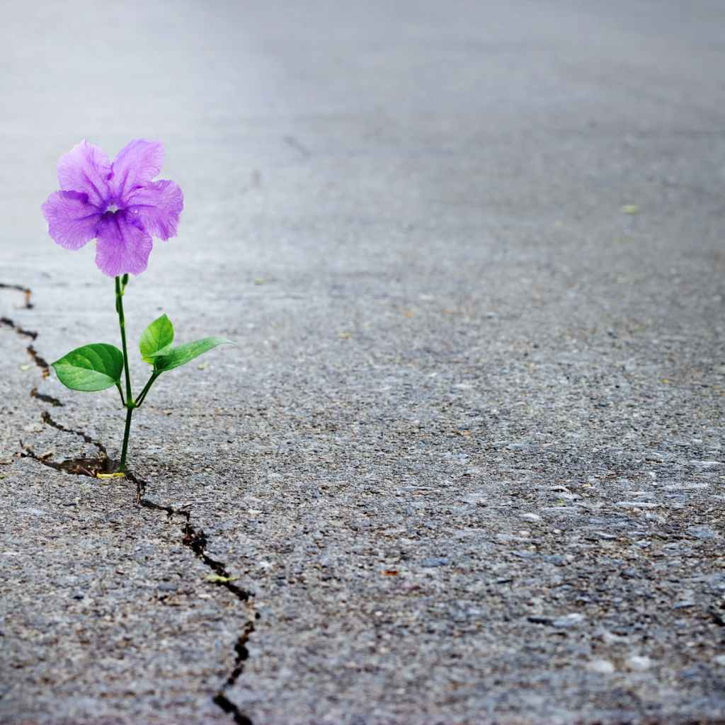 flower growing through crack  in concrete
